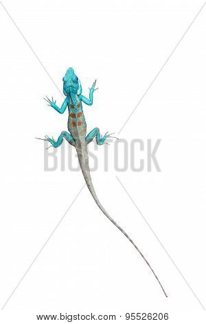 Chameleon On White Background