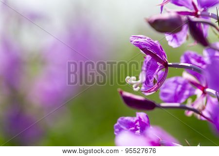 Summer lupine blossoms