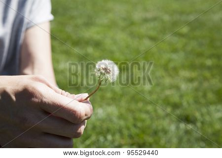 Dandelion Plant In Woman Hand