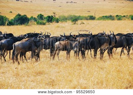 Great Migration, African Wildlife