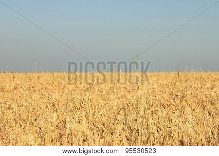 Photos wheat field and sky in the shape and color of Ukrainian flag