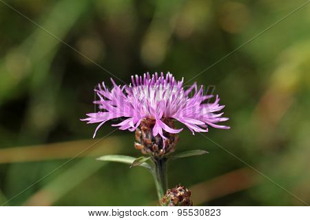 Brown Knapweed (centaurea Jacea).
