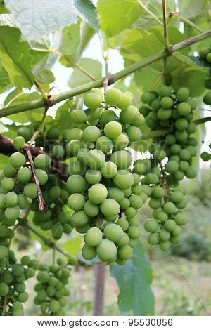 Ripening grapes on the field.