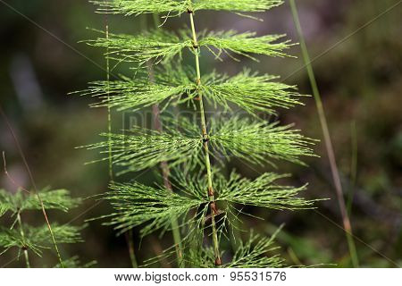 Wood Horsetail (equisetum Sylvaticum).