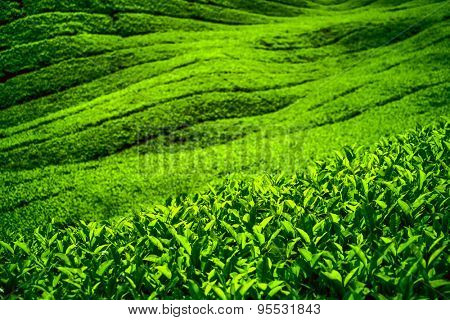 Tea plantation in Cameron highlands, Malaysia. Nature background