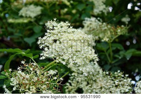 Elderflower