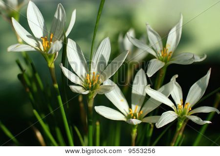 Zephyranthes Grandiflora flor