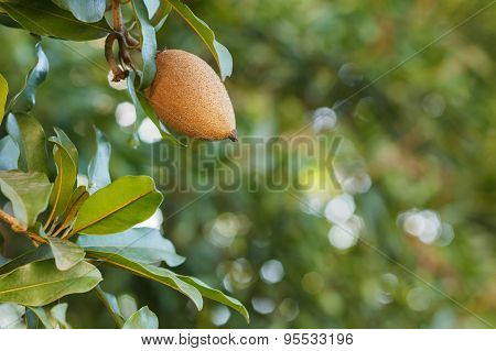 Fruit Of Manilkara Zapota, Sapodilla Tree