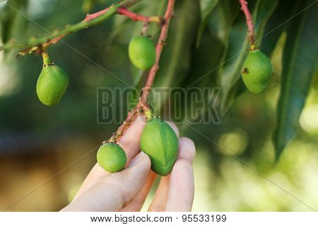 Bunch Of Young Green Mango On Tree