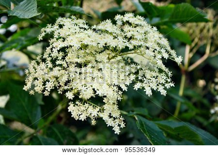 Fresh Elderflower