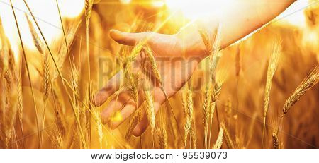Hand in wheat in the sunlight. Solar wheat