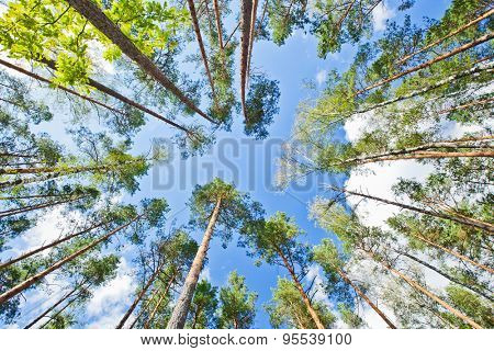 Crowns of trees against blue sky