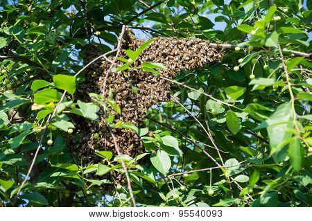 Honey Bees Clinging To A Cherry Tree