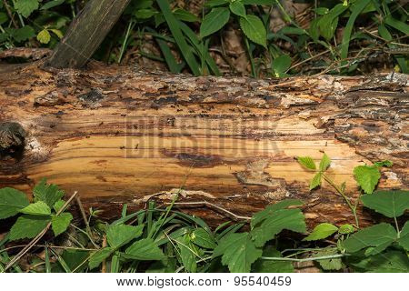 The Trail Of Ants On A Log
