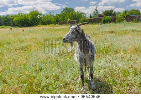 Grey goat on a summer pasture
