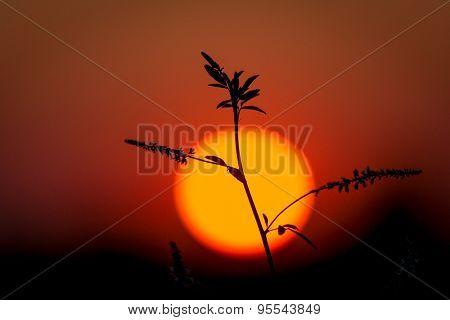 wild plant on big sun background sunset