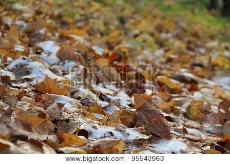 Autumn Leaves In The Snow