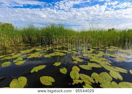 cane and lilys leafs on lake water surface