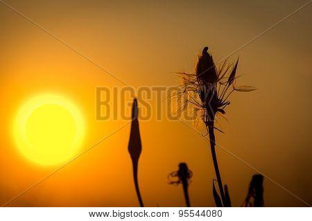 dandelions on sunset sky background