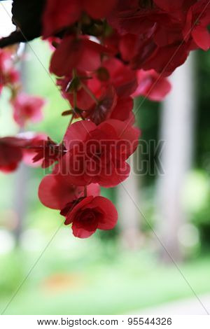 Coral Double Begonia