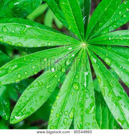Lupin Flower Leaf With Waterdrops