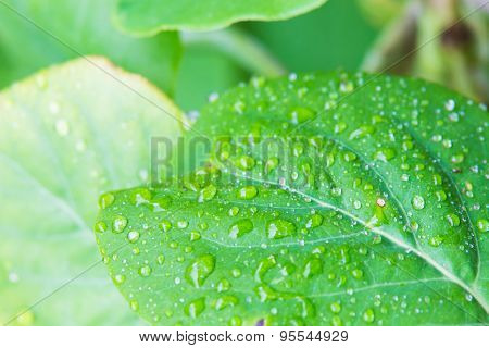 Isolated Large Green Leaf With Waterdrops