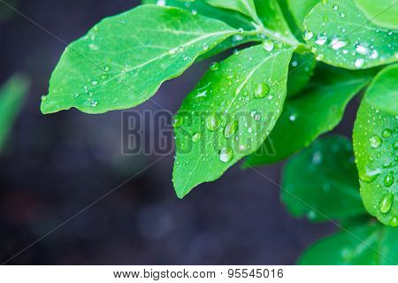 Isolated Green Leafs With Waterdrops