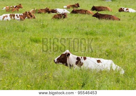 Cows Lying On A Green Grassy Field