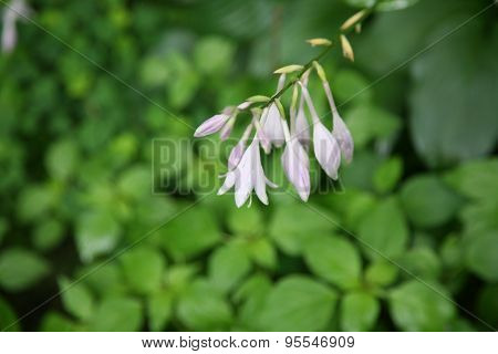 Purple Hostas Blooms