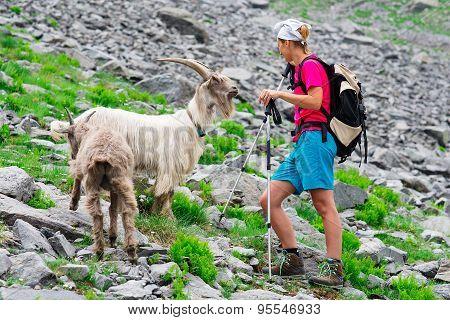 Woman Hiker In Mountains Meet A Goat