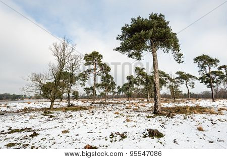 Scots Pine Trees In A Large Natural Area In Wintertime