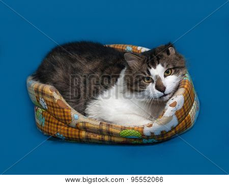 White And Fluffy Tabby Cat Lies In Motley Couch On Blue
