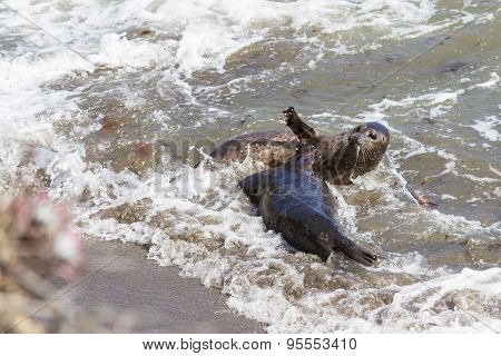 Seals Playing O The Beach