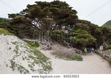 Large Cypress Trees