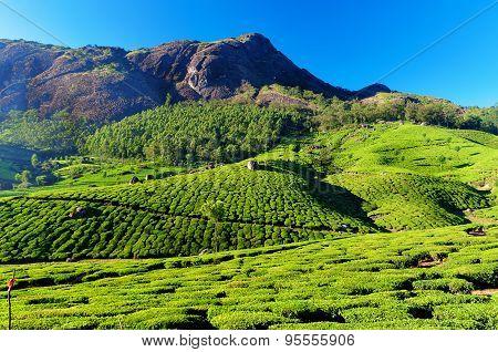 Tea Plantation Valley In Munnar