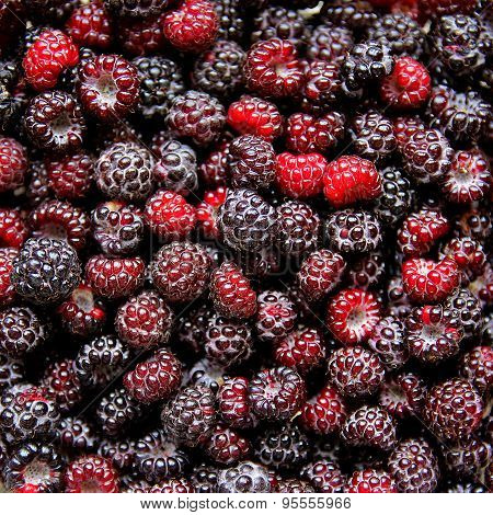 Large Collection On Fresh Black Cap Raspberries