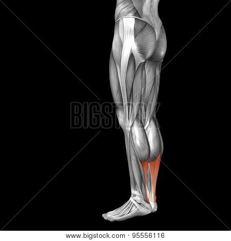 Concept or conceptual 3D gastrocnemius human lower leg anatomy or anatomical and muscle isolated on black background