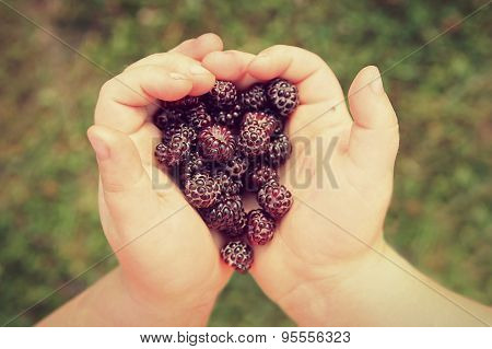 Child's Hands Holding Fresh Picked Black Cap Raspberries