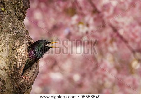 European Starling bird chirping out of cherry blossom tree hole
