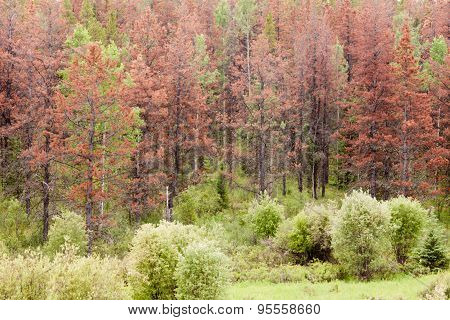 Mountain Pine Beetle Killed Pine Forest