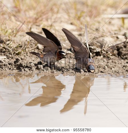 Cliff Swallows Hirundo Pyrrhonota Gathering Mud