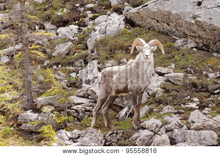 Stone Sheep Ram Ovis Dalli Stonei Canadian Wildlife