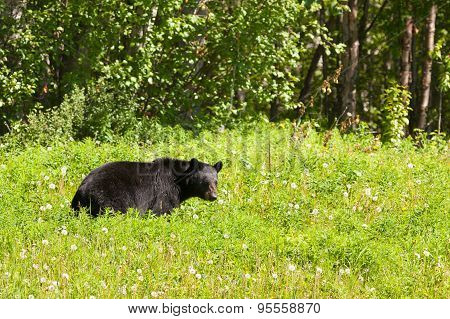 American Black Bear Forage Lush Meadow