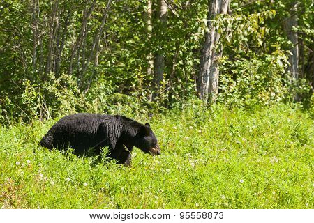 American Black Bear Forage Meadow Greens