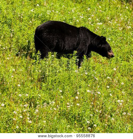 American Black Bear Forage Grassy Meadow