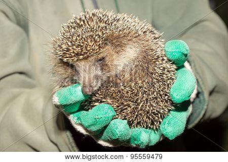 Hedgehog In The Hands Of