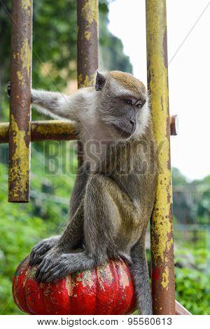 Monkey in Batu Caves In Kuala Lumpur