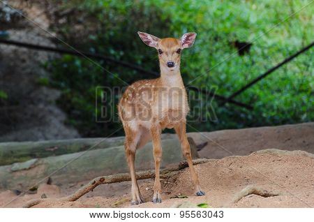 Small Deer In The Zoo, Closeup
