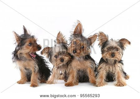 Tiny Yorkshire Terrier Puppies Sitting on White Background