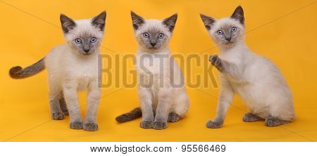 Cute Siamese Kittens on Bright Yellow Colorful Background